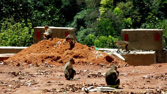Längs vägen till Munar finns mycket apor.